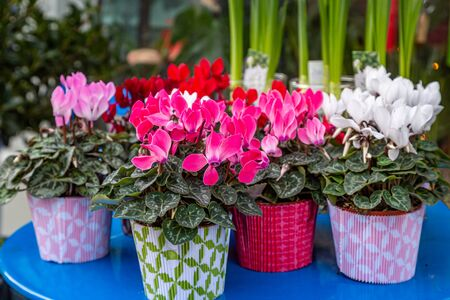 Colourful cyclamen plants displayed on a table