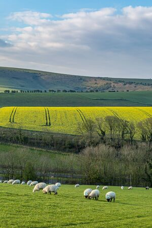 Sheep grazing in the South Downs on a sunny spring morning Stock fotó