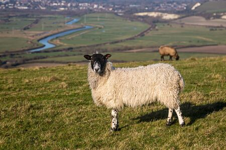 Sheep on a South Downs hillside with the winding River Ouse and town of Lewes in the background