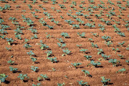 Crops neatly growing in a field, on the island of Bermuda 版權商用圖片 - 138267866
