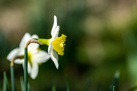 A close up of a pale yellow daffodil viewed from the side, with a shallow depth of field
