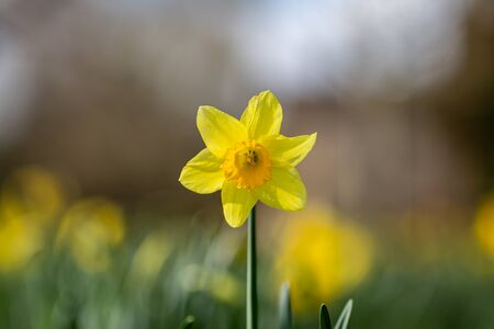 A daffodil in the spring sunshine, with a shallow depth of field 版權商用圖片