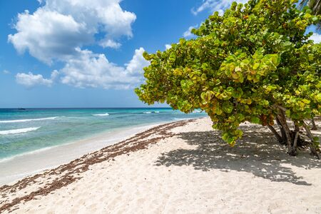 Trees on a sandy beach, on the Caribbean island of Barbados