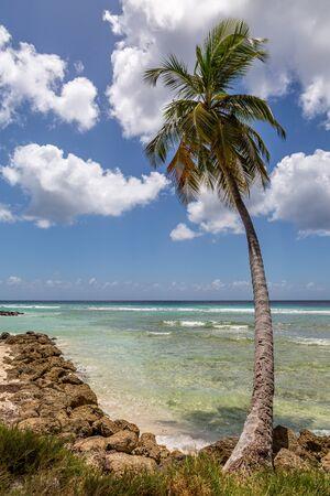 A Palm Tree on a Caribbean Beach, on a sunny day