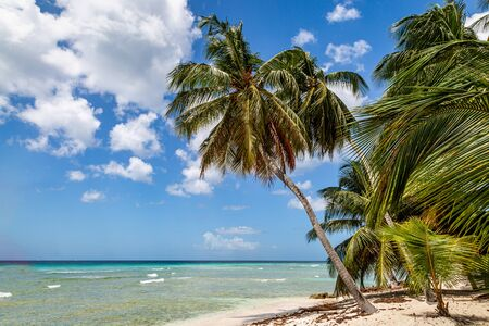 Palm trees on a beach, on the Caribbean island of Barbados