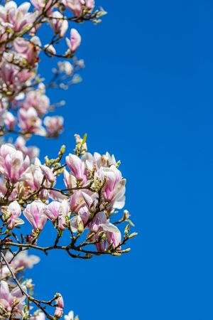 Flowers on a magnolia tree in springtime, with a blue sky behind