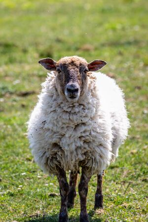 A sheep looking at the camera, with a shallow depth of field