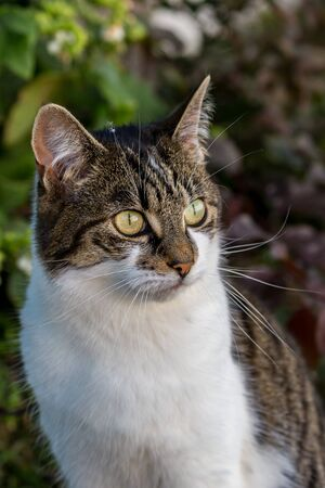 A portrait of a tabby and white cat