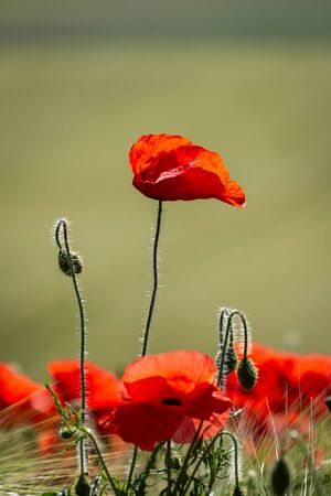 A close up of vibrant red poppies in the sunshine Stock Photo