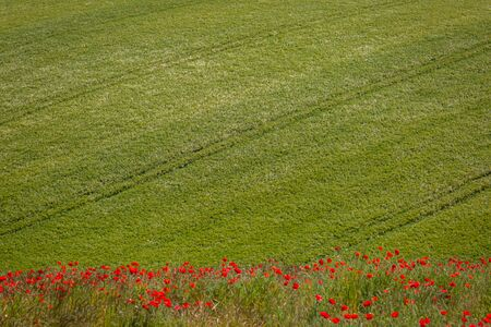 A row of red poppies and a field of wheat, in the South Downs in Sussex