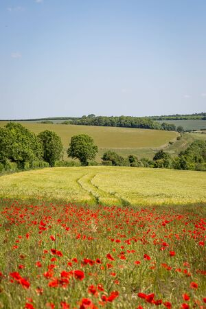 A South Downs landscape with poppies and a wheat field