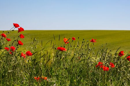 Vibrant poppies in the Sussex countryside, with a blue sky overhead