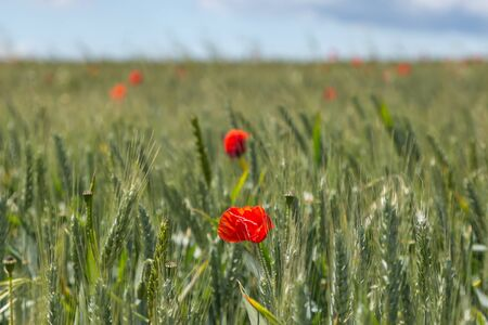 Poppies scattered throughout a field of cereal crops
