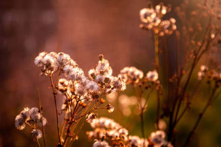 Dandelion seed heads with evening light