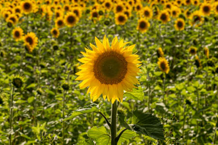 A vibrant yellow sunflower in the summer sunshine