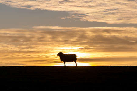 A silhouetted sheep at sunset, on a South Downs hillside near Lewes