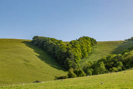 Sheep grazing in a field in the South Downs, with trees in the shape of a V behind, planted to commemorate Queen Victoria