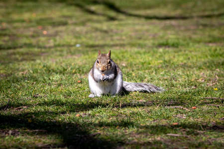 A grey squirrel in a park on a spring day