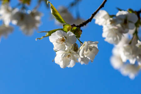 Looking up at white blossom against a blue sky