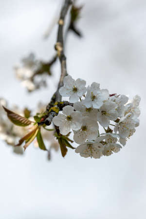 Looking up at delicate white tree blossom, with a shallow depth of field