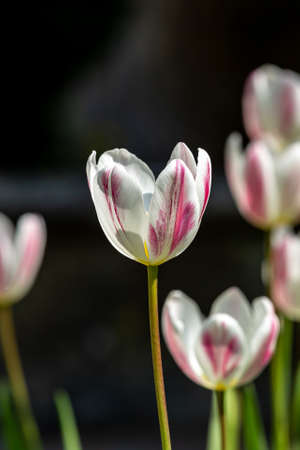 Delicate pink and white tulips in the spring sunshine
