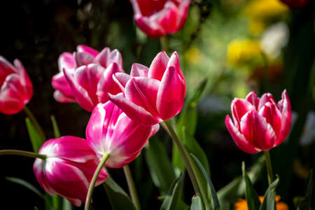 Tulips in the Spring Sunshine, with a Shallow Depth of Field