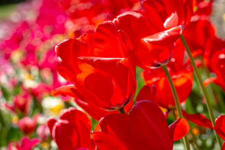 Red Tulips in the Spring Sunshine