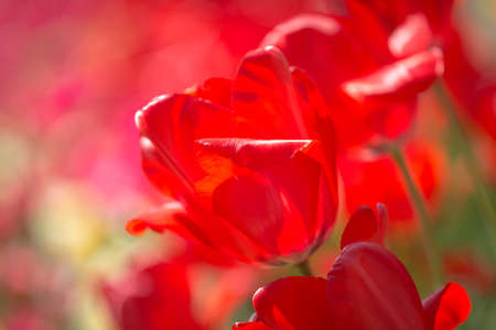 A close up of a vibrant red tulip in the spring sunshine
