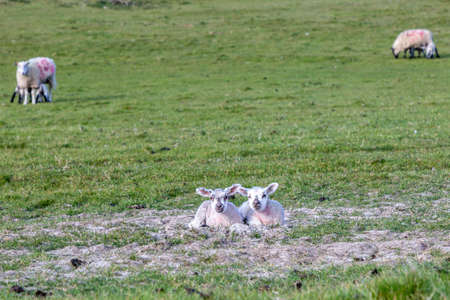 Lambs in the South Downs in Springtime