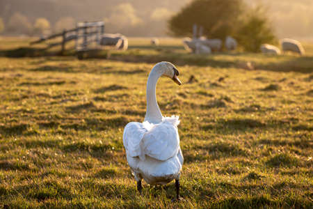 A mute swan walking in a field with evening light Imagens