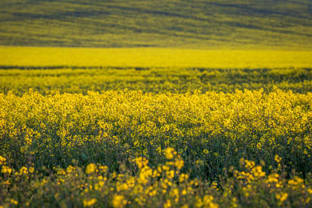 A full frame photograph of canola/rapeseed crops with evening light