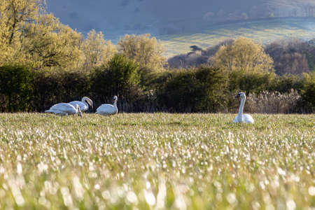 Mute swans in a field in Sussex on a sunny spring evening
