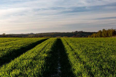 A Pathway Through a Field of Green Crops Growing in the Sussex Countryside in Spring Imagens