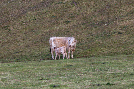 A Cow and Her Calf in the Sussex Countryside on a Spring Morning Imagens
