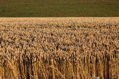 Cereal crops ready for harvesting in the evening sunshine Imagens