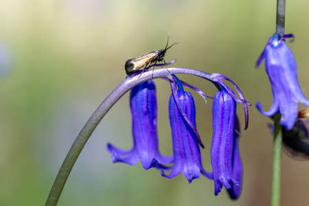 A green longhorn moth perched on a bluebell flower