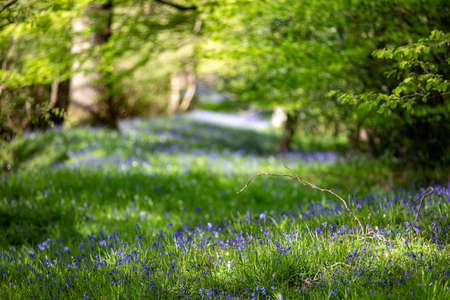 Bluebells growing in Sussex woodland, with a shallow depth of field