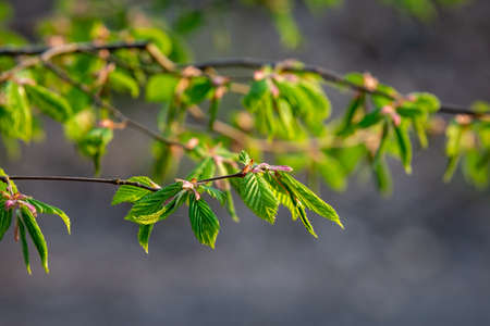 New leaves on a tree in springtime
