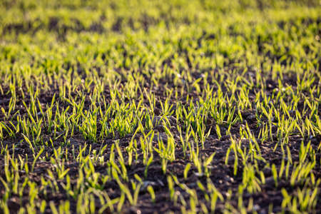 A full frame photograph of young crops emerging in springtime Imagens