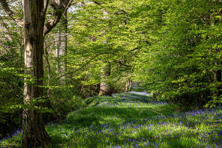 An abundance pf bluebells growing in ancient woodland in spring