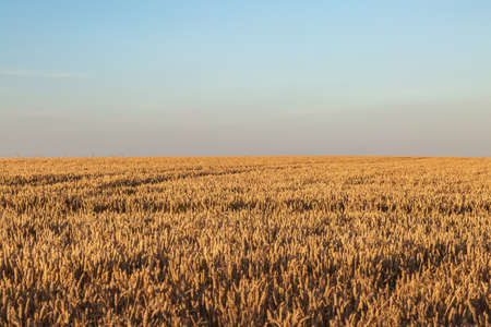 A Field of Golden Cereal Crops in Summer Imagens