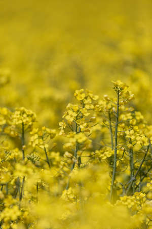 A full frame photograph of vibrant canola/rapeseed crops, with a shallow depth of field