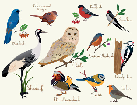mandarin orange: bird icons. Colorful realistic birds icons set isolared on the white Illustration