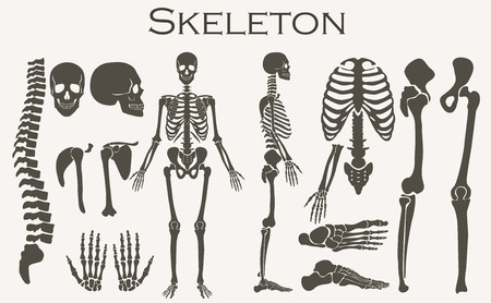 Human bones skeleton silhouette  collection set. High detailed Vector illustration Vettoriali