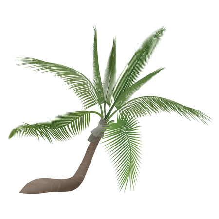 tree isolated: Vector tropical exotic high detailed palm tree isolated Illustration