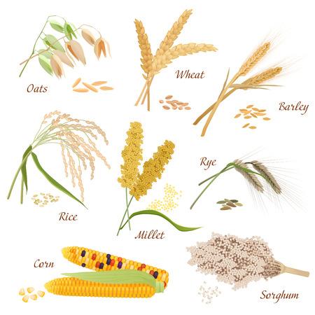 Las plantas de cereales de vectores iconos de ilustraciones. conjunto de sorgo maíz arroz mijo centeno trigo cebada avena