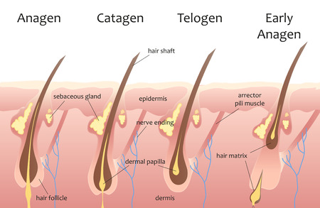 papilla: Human head hair growth cycle. Biological catagen, telogen phases. Hair infographics