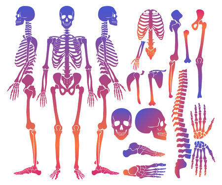 Human bones skeleton silhouette collection set. gradient bright color high detailed vector illustration.