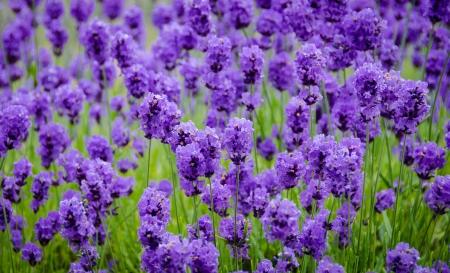 Close up of purple lavender flowers onan organic farm