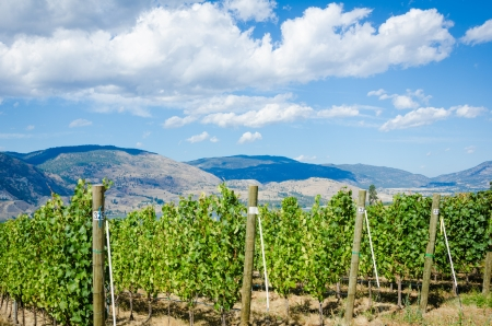 Vineyard in Okanagan Valley in British Columbia with grapes ready for harvesting